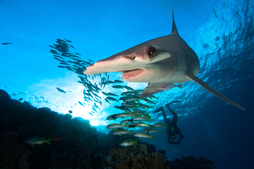 Hammerhead Shark | Diving Facilities | Dive HQ Westhaven